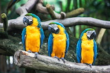 Blue and Yellow Parrots Perched in Colour