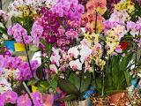72171846-orquídeas-de-colores-en-macetas-en-la-exposición-de-f