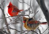 ^ Winter Cardinals