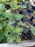 Buckets of Rhubarb