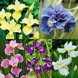 Siberian iris colours