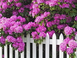 Flowering Bush on the fence