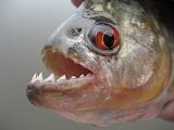 Amazon river black piranha