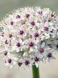 Flowers - Allium
