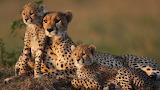 Mother Cheetah and Cubs, South Africa