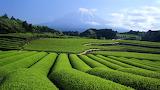 Fuji Green Tea Fields, Japan