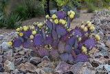 Purple prickly pear cactus flower