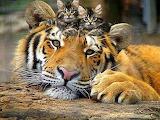 Tigre-chatons