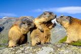 Animals - Nattering Marmots