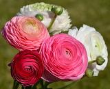 ^ Ranunculus Bouquet