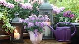 Balcony flower purple pink