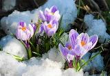 Wiosenne krokusy na śniegu