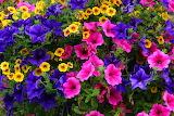 Petunia Multicolor 546928 1280x853