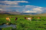 Wild horses grazing deosai national park pakistan