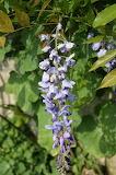 Glycine / wistaria flower