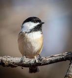 Birds - Black-capped Chickadee - Idaho