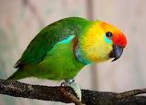 Large Fig Parrot (Psittaculirostris desmare