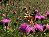 Butterfly on thistles