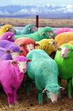 Technicolor Sheep