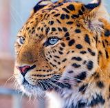 Leopard Face...