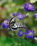 Butterfly and blue flowers