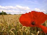 Poppy in a cornfield