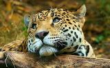 Fascinating-leopard-sadness-hd-animals-wallpaper-animals-wallpap