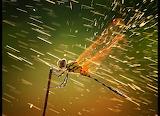 Espiadimonis - Dragonfly