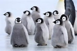 Group of Emperor Penguin chicks