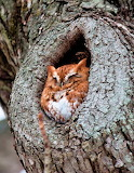"Birda tumblr tangledwing ""Eastern Screech Owl"" ""Megascops asio"""