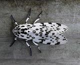 "Science tumblr ""Giant Leopoard Moth"" ""Hypercompe scribonia"""