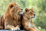 African Lion Couple