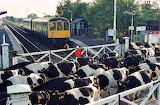 Train awaits cows on crossing