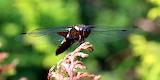 Ważka płaskobrzucha female