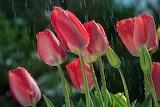 spring, rain, tulips