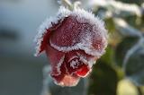 Rose givrée /Frozen Rose 03