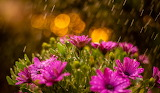 Water, drops, flowers, nature, rain, chamomile