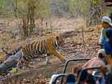 tiger,India