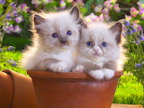Two Puffy Kittens...
