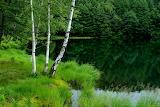 Summer, Forest, birches
