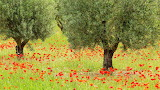 Olives and Poppies, Greece