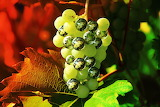 Grapes-
