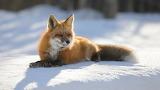 Renard prenant le soleil sur la neige