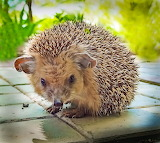 Cute domesticated hedgehog
