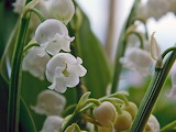 Lily of the Valley 2017