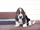 Cute-basset-hound