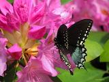 Swallowtail butterfly on Rhododendren