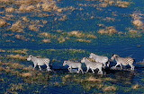 Aerial view of plains zebras walking in a flood plain Delta Bots