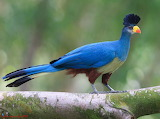 Great Blue Turaco perched on a branch