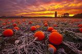 Pumpkins at sundown